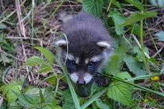 Μωρό racoon στη φύση Στοκ Φωτογραφίες