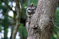 μωρό racoon Στοκ Φωτογραφίες