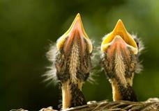 μωρό robins στοκ φωτογραφία με δικαίωμα ελεύθερης χρήσης
