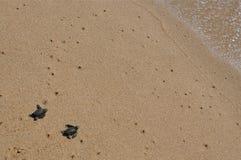 Μωρό seaturtles που πλησιάζει τον ωκεανό Στοκ φωτογραφίες με δικαίωμα ελεύθερης χρήσης