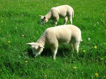Μωρό sheeps Στοκ Φωτογραφία