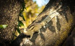 Μωρό Squirral στο δέντρο Στοκ φωτογραφία με δικαίωμα ελεύθερης χρήσης