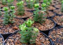 Μωρό succulent με την τέμνουσα διάδοση στοκ εικόνες