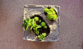 Μωρό succulents στο συγκεκριμένο δοχείο λουλουδιών Στοκ Εικόνα