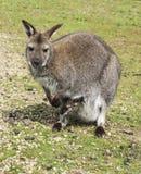 μωρό wallaby Στοκ εικόνες με δικαίωμα ελεύθερης χρήσης