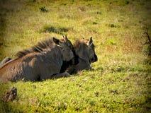Μωρό Wildebeest στοκ φωτογραφίες