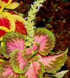 Μωσαϊκό ` Plectranthus scutellarioides ` Kong, syn: Solenostemon scutellarioides, Coleus blumei Στοκ Φωτογραφίες