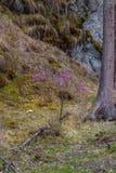Μόλις ανθίζοντας λουλούδια του άγριου δεντρολιβάνου maralnik στην τοπική  στοκ εικόνες με δικαίωμα ελεύθερης χρήσης