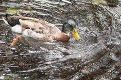 Μόλυβδοι ιχνών φύσης στη λίμνη με μια κολύμβηση παπιών στοκ φωτογραφία