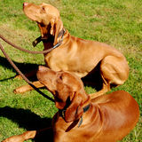 μόλυβδοι σκυλιών στοκ εικόνα με δικαίωμα ελεύθερης χρήσης