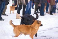 Μόνα άστεγα σκυλιά στο χιόνι Στοκ Εικόνες