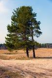 Μόνα δέντρα πεύκων στον τομέα Στοκ φωτογραφία με δικαίωμα ελεύθερης χρήσης