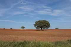 Μόνα δρύινα δέντρα ακροποταμιών Στοκ εικόνες με δικαίωμα ελεύθερης χρήσης