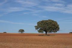 Μόνα δρύινα δέντρα ακροποταμιών Στοκ Εικόνες