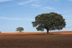Μόνα δρύινα δέντρα ακροποταμιών Στοκ φωτογραφία με δικαίωμα ελεύθερης χρήσης