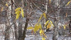 Μόνα κίτρινα φύλλα στα δέντρα φθινοπώρου στον ηλιόλουστο καιρό απόθεμα βίντεο