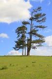 μόνα μόνιμα δέντρα ομάδας πε&delta Στοκ φωτογραφίες με δικαίωμα ελεύθερης χρήσης