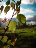 Μόνα φύλλα σημύδων ενάντια σε έναν όμορφο τυρκουάζ ουρανό στοκ εικόνες με δικαίωμα ελεύθερης χρήσης