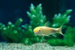 Μόνα ψάρια στο εγχώριο ενυδρείο Στοκ Εικόνες