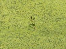 μόνες εγκαταστάσεις γεμισμένη στην άλγη λίμνη στοκ φωτογραφία με δικαίωμα ελεύθερης χρήσης