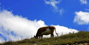 Μόνη αγελάδα στο λιβάδι βουνών Καύκασου Στοκ εικόνα με δικαίωμα ελεύθερης χρήσης