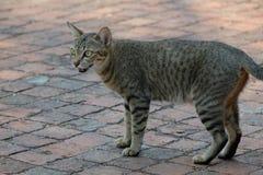 Μόνη γάτα οδών Στοκ Εικόνες