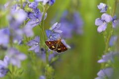 Μόνη ζωηρόχρωμη πεταλούδα στα μπλε λουλούδια της Βερόνικα Στοκ Φωτογραφία