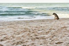 Μόνη καφετιά συνεδρίαση σκυλιών στην παραλία που περιμένει κάποιο Στοκ Εικόνες