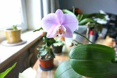 Μόνη ρόδινη ορχιδέα Phalaenopsis λουλουδιών Στοκ φωτογραφίες με δικαίωμα ελεύθερης χρήσης