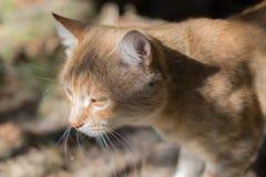 Μόνη, λυπημένη κόκκινη γάτα Σοβαρή ενήλικη γάτα Όμορφη γάτα κοντός-τρίχας Στοκ Φωτογραφία