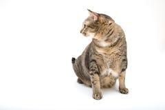 Μόνιμη ταϊλανδική παχιά γάτα Στοκ Φωτογραφίες