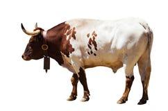 Μόνιμος ενήλικος ταύρος Απομονωμένος πέρα από το λευκό στοκ φωτογραφία με δικαίωμα ελεύθερης χρήσης