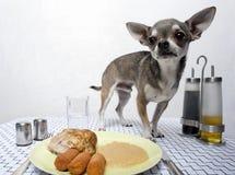 μόνιμος πίνακας τροφίμων chihuahua Στοκ Φωτογραφίες