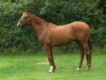 Μόνιμο άλογο κάστανων Στοκ Εικόνα