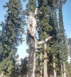Μόνιμο δέντρο που καίγεται στα ινδικά δάση Στοκ Φωτογραφία