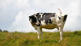 Μόνιμο λιβάδι αγελάδων απόθεμα βίντεο