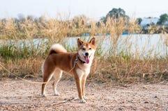 Μόνιμο χαριτωμένο ιαπωνικό σκυλί Στοκ Εικόνα