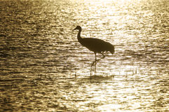 μόνιμο ύδωρ γερανών sandhill Στοκ φωτογραφία με δικαίωμα ελεύθερης χρήσης