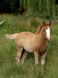 Μόνιμο Foal Στοκ Φωτογραφία