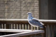 Μόνιμο seagull Στοκ Εικόνες