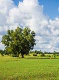 Μόνοι μεγάλοι δέντρο και μπλε ουρανός Στοκ Εικόνα
