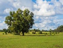 Μόνοι μεγάλοι δέντρο και μπλε ουρανός Στοκ εικόνα με δικαίωμα ελεύθερης χρήσης