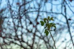 Μόνος άγριος αυξήθηκε κλάδος με τα πράσινα φύλλα σε ένα θολωμένο υπόβαθρο Ρωσία, Stary Krym Στοκ εικόνα με δικαίωμα ελεύθερης χρήσης