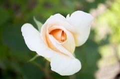 Μόνος άσπρος αυξήθηκε κινηματογράφηση σε πρώτο πλάνο λουλουδιών Στοκ Φωτογραφίες