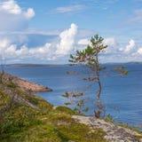 Μόνος λίγο δέντρο πεύκων στο νησί γερμανικού Kuzov (κινηματογράφηση σε πρώτο πλάνο) Στοκ Εικόνες