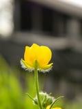 μόνος κίτρινος λουλου&delt Στοκ φωτογραφία με δικαίωμα ελεύθερης χρήσης