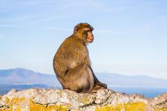 μόνος πίθηκος Στοκ Εικόνες