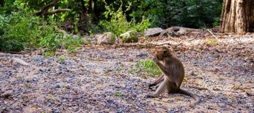 Μόνος πίθηκος Στοκ Εικόνα