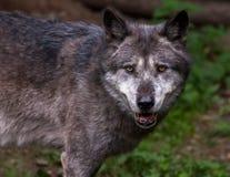 μόνος λύκος Στοκ Εικόνα