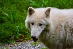 μόνος λύκος Στοκ Φωτογραφίες